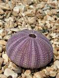 Sea urchin on stone beach Stock Photos