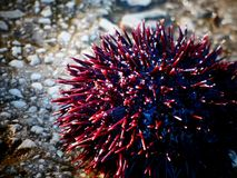 Sea Urchin on a stone during late afternoon Stock Images