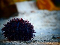 Sea Urchin on a stone during late afternoon Stock Photography