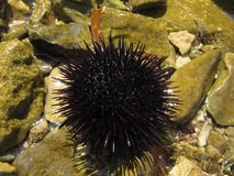 The sea urchin is on the stone near the water royalty free stock photo