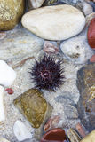 Sea urchin. Among stones in the sea water Royalty Free Stock Images
