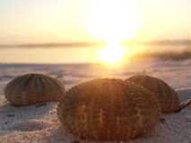 Sea urchin sunset Stock Images