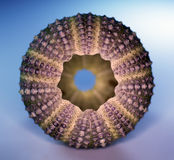 Sea-urchin symmetry Stock Images
