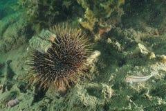 Sea urchin and triplefin Stock Photo