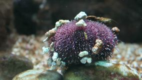 Sea urchin under water. small legs moving. Aquatic life stock footage