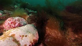 Sea urchin underwater on seabed of Kamchatka. Nature in clean transparent cold water. Wildlife on background of blue marine in Arctic ocean stock video