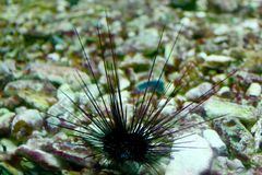 Sea Urchin. S or urchins (/ˈɜrtʃɪnz/), archaically called sea hedgehogs,[1][2] are small, spiny, globular animals that, with their close kin, such as sand Royalty Free Stock Photo
