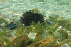 Sea-urchin royalty free stock photo