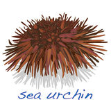 Sea urchin. White background Stock Image