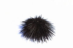 Sea-urchin on a white background Royalty Free Stock Photo
