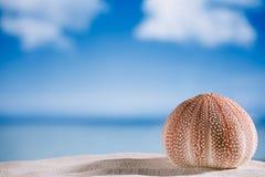 Sea urchin  on white sand beach Stock Photos
