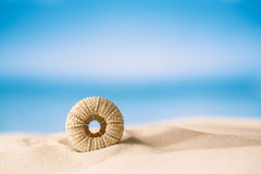 Sea urchin  on white sand beach Royalty Free Stock Photo
