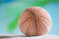 Sea urchin  on white sand beach Stock Image