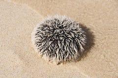 Sea urchin on white tropical beach - Guadeloupe. Caribbean island stock photo