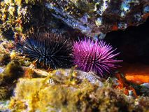 Sea urchins Royalty Free Stock Photography