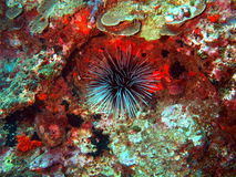 Sea urchins Royalty Free Stock Photo
