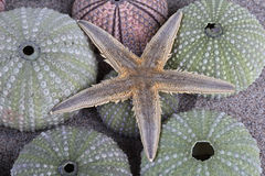 Sea urchins Royalty Free Stock Photos