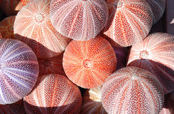 Sea urchins stock image