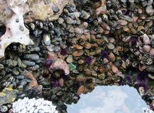Sea urchins, sea anemones an mussels at Botanical Beach in low tide Royalty Free Stock Photos