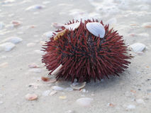 Sea Urchins at the beach Stock Image