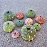 Sea urchins on the beach Royalty Free Stock Photography