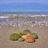 Sea urchins on the beach Stock Photography