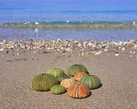 Sea urchins on the beach Royalty Free Stock Photos