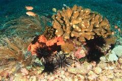 Sea urchins Royalty Free Stock Photo