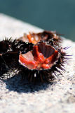 Sea urchins Stock Photos