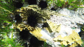 Sea urchins on coral reef. Colonies of sea urchins on coral reef in a tropical sea.tropical underwater world.Diving and snorkeling in the tropical sea.Travel stock footage