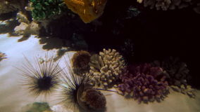 Sea urchins lie on the white sand surrounded by coral. In blue transparent clear water stock video footage
