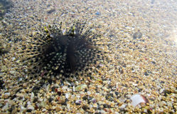 Sea Urchins lonely. In the beach royalty free stock photo