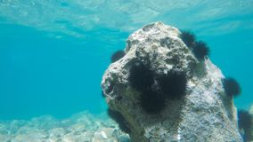 Sea urchins in motion. Under water time lapse stock video