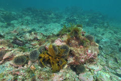 Sea urchins on rocky bottom. Barren rocky sea bottom with clusters of sea urchins Evechinus chloroticus Stock Photo