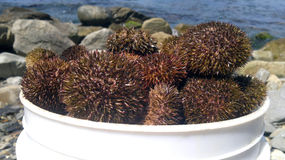 Sea urchins on the sea background Stock Images