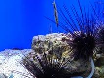 Sea urchins in Shanghai aquarium Royalty Free Stock Photos