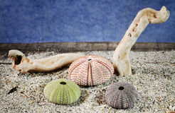 Sea urchins shell on sand Royalty Free Stock Photo