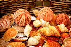 Sea Urchins and shells. Stock Image