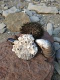 Sea urchins and shells on the stone. Tubes on the shell. royalty free stock photos