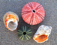 Sea urchins and shells on wet sand Royalty Free Stock Photo