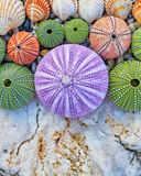 Sea urchins and shells on white rock Stock Image