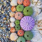 Sea urchins and shells on white rock Stock Photography