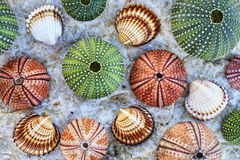 Sea urchins and shells on white wet rock Stock Photos