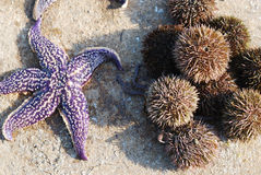 Sea urchins and star. Fish lie on the table Stock Photo
