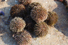 Sea urchins and star Stock Photography