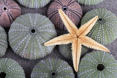 Sea urchins and starfish Stock Photography