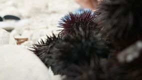 Sea urchins on a stone. Black sea urchins on a stone stock video footage