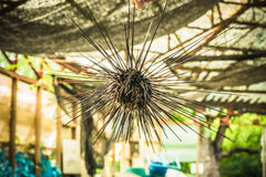 Sea urchins in Thailand. Caught up by divers for details Royalty Free Stock Images