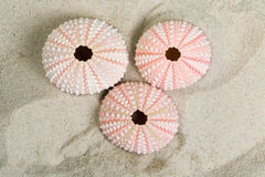 Sea urchins top view Royalty Free Stock Photo