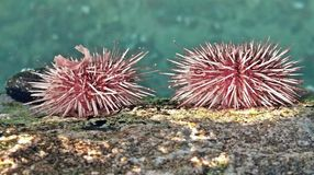 Sea urchins Royalty Free Stock Images
